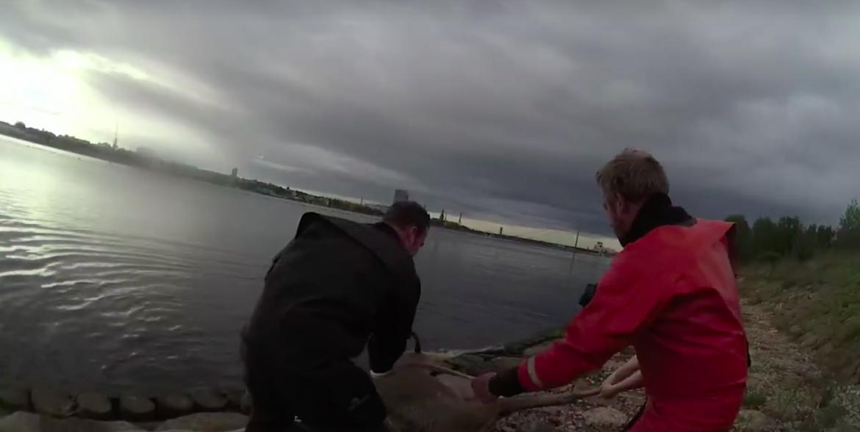 VIDEO: Policisti no Daugavas izglābj slīkstošu alni